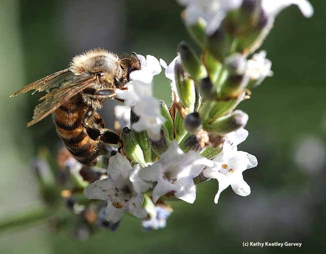 This worker bee, with tattered and torn wings, still keeps foraging. (Photo by Kathy Keatley Garvey)