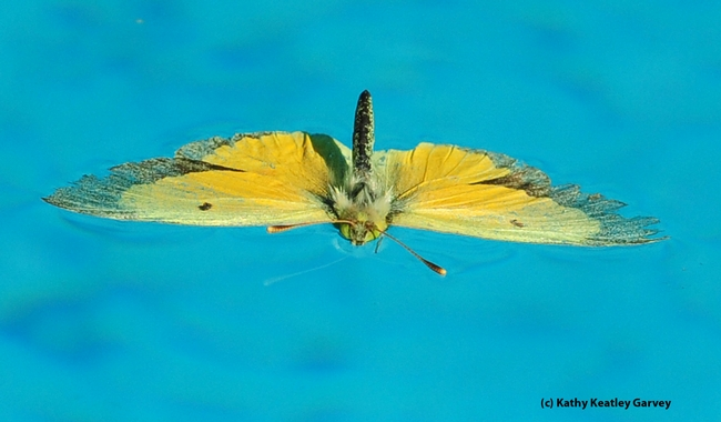 Alfalfa butterfly, Colias eurytheme, lands in a swimming pool. (Photo by Kathy Keatley Garvey)