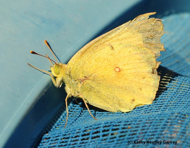Fished out of the pool, the alfalfa butterfly rests on the net. (Photo by Kathy Keatley Garvey)
