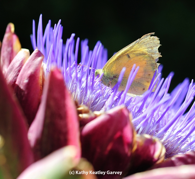 Placed atop a flowering artichoke, the alfalfa butterfly dries its wings. Several minutes later it fluttered away. (Photo by Kathy Keatley Garvey)