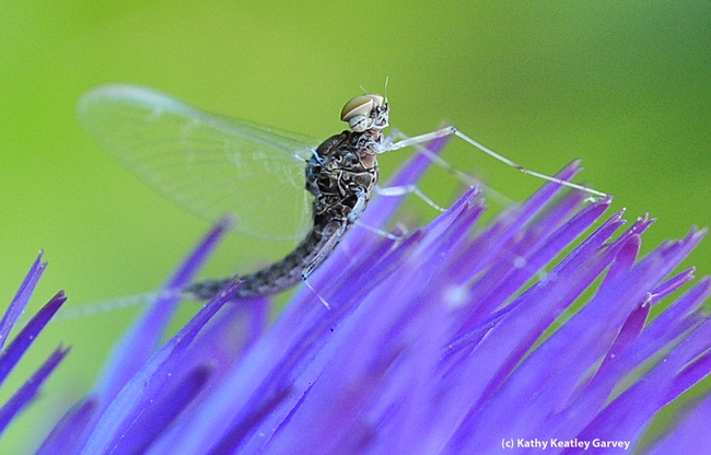 Mayfly, from the family Baetidae, rests on a flowering artichoke. (Photo by Kathy Keatley Garvey)