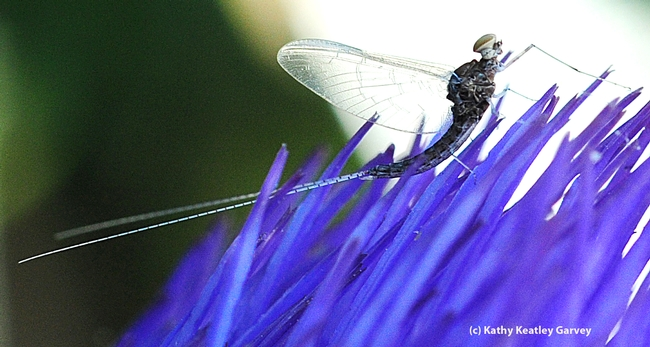 Long tail of the mayfly, family Baetidae. (Photo by Kathy Keatley Garvey)