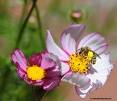 Sunflower bee (Svastra spp.) foraging on cosmos. (Photo by Kathy Keatley Garvey)