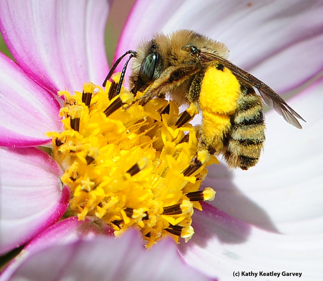 Close-up of pollen on a sunflower bee. (Photo by Kathy Keatley Garvey)