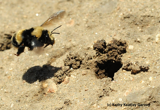 Female digger bee, Anthophora bomboides stanfordiana, heads for her nest. (Photo by Kathy Keatley Garvey)