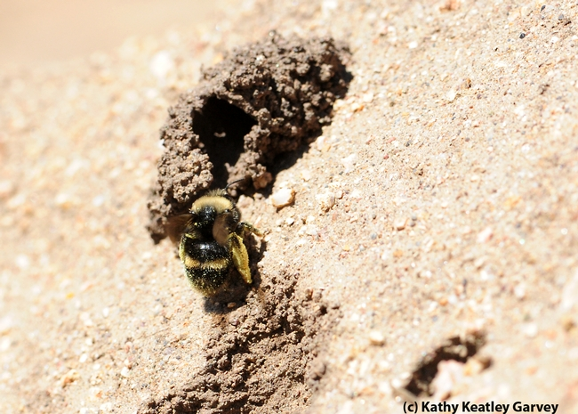 Packing pollen, a female digger bee,  Anthophora bomboides stanfordiana, crawls into her nest. (Photo by Kathy Keatley Garvey),