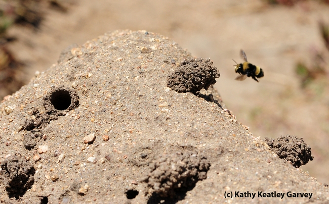 Outline of sand cliff with female digger bee heading home. Note the turrets these bees build. (Photo by Kathy Keatley Garvey)