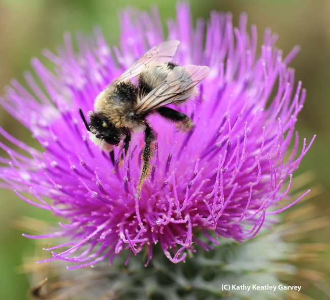 The male digger bee, Anthophora bomboides stanfordiana, looks less like a bumble bee than the female. (Photo by Kathy Keatley Garvey)