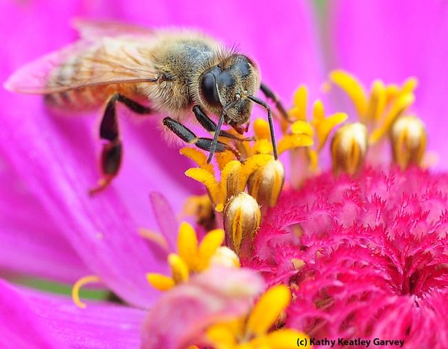 Honey bee nectaring on a zinnia in the Haagen-Dazs Honey Bee Haven. (Photo by Kathy Keatley Garvey)