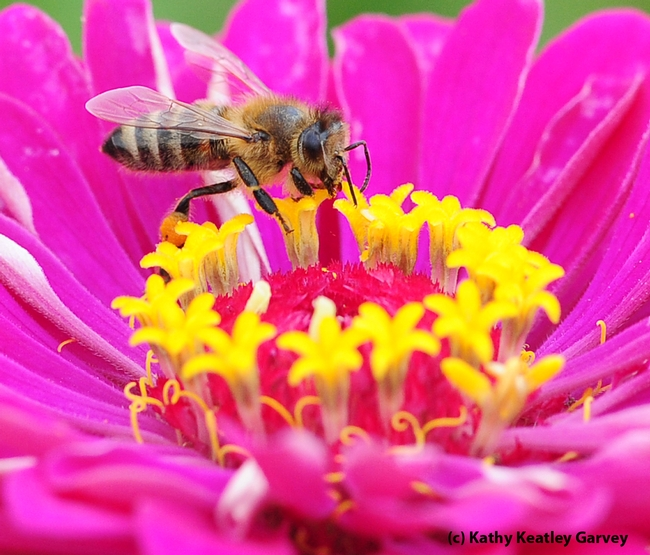 Honey bee foraging on a zinnia. (Photo by Kathy Keatley Garvey)
