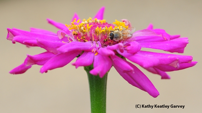 Circling a zinnia blossom, a honey bee seeks food for her colony. (Photo by Kathy Keatley Garvey)