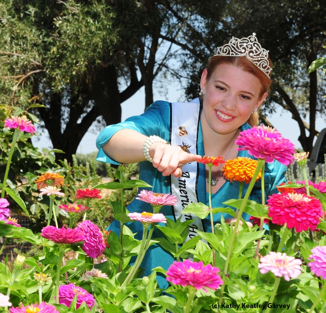 American Honey Bee Queen Alyssa Fine watches a honey bee forage in the zinnias at the Haagen-Dazs Honey Bee Haven. (Photo by Kathy Keatley Garvey)