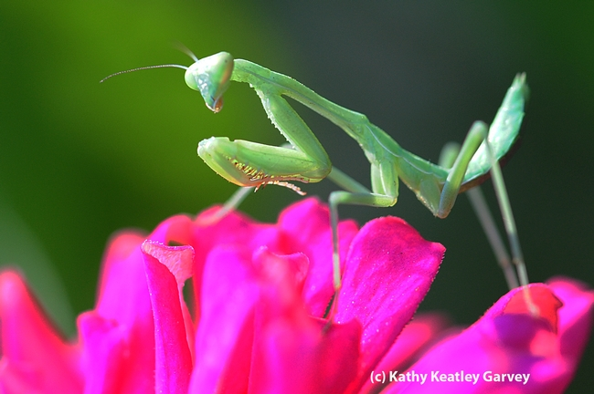 Coming up empty, the praying mantis stares at where the bee had been. (Photo by Kathy Keatley Garvey)