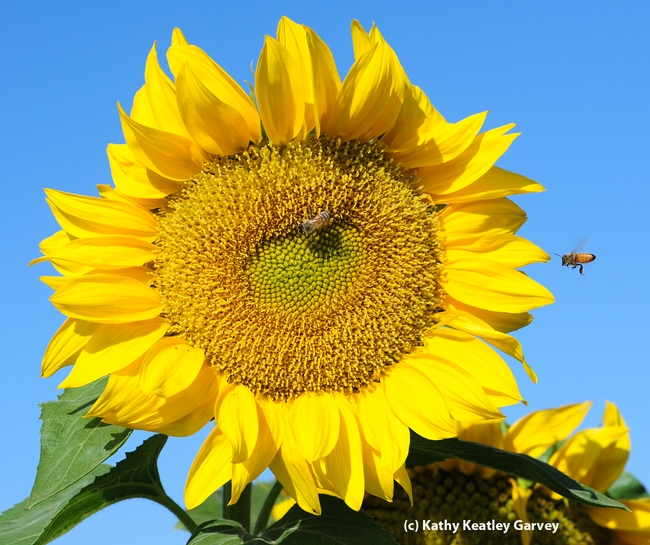 Honey bee heads for a sunflower in a field off Pedrick Road, Dixon. (Photo by Kathy Keatley Garvey)