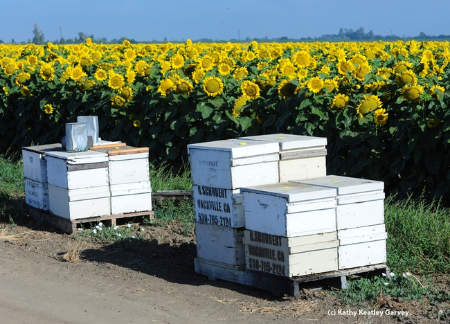 Row of hives along sunflower field on Pedrick Road, Dixon, Calif. (Photo by Kathy Keatley Garvey)