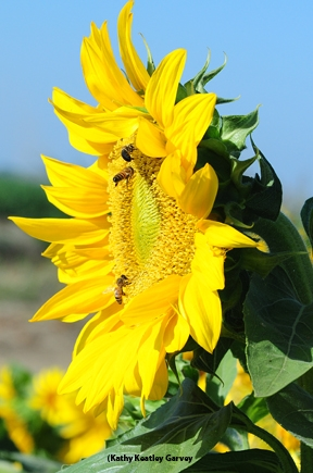 Bees and sunflowers.