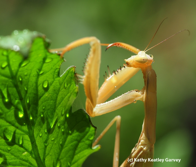 Praying mantis on a watered tomato plant. (Photo by Kathy Keatley Garvey)
