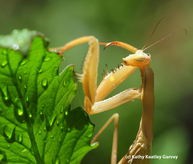 How to Flush Out a Praying Mantis - Bug Squad - ANR Blogs
