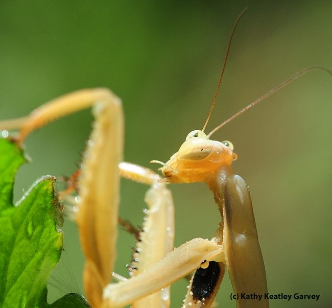 Praying mantis licks water from its forelegs, specialized to seize prey. (Photo by Kathy Keatley Garvey)