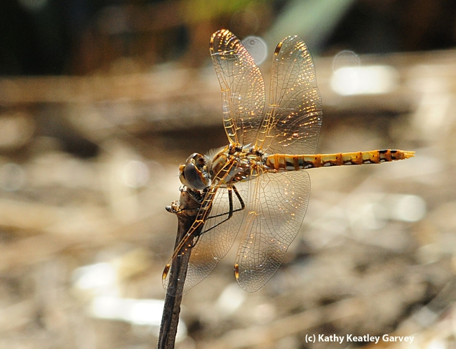 A camouflaged variegated meadowhawk. (Photo by Kathy Keatley Garvey)