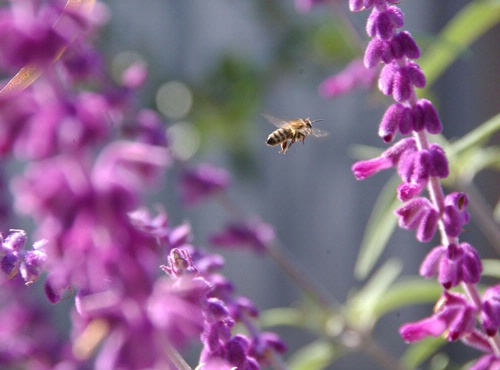 FLIGHT OF THE HONEY BEE--A pollen-packing honey bee buzzes through salvia (sage). In some cities, beekeeping is prohibited.(Photo by Kathy Keatley Garvey)