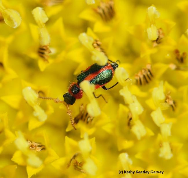 Melyrid beetle on a sunflower.  (Photo by Kathy Keatley Garvey)