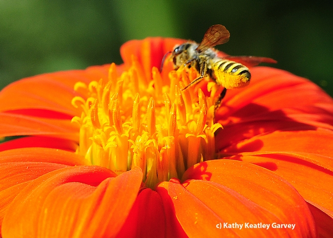 This female leafcutting bee, Megachile fidelis, is loaded with pollen. (Photo by Kathy Keatley Garvey)