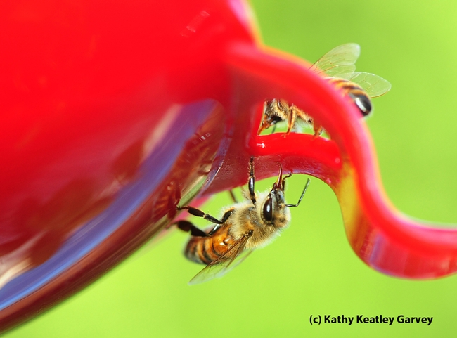 Honey bees licking the surface of a hummingbird feeder. (Photo by Kathy Keatley Garvey)
