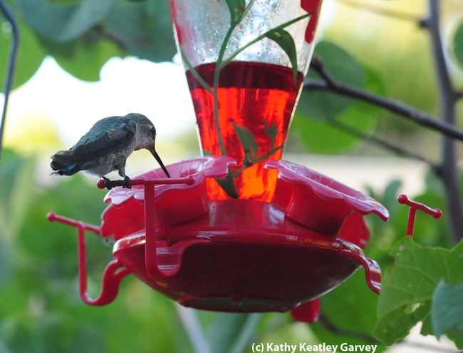 Hummers can reach this syrup but the bees cannot. (Photo by Kathy Keatley Garvey)