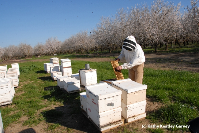 Bee breeder-geneticist Kim Fondrk of UC Davis manages the Robert Page specialized genetic stock. These bee hives were in a Dixon almond orchard. (Photo by Kathy Keatley Garvey)