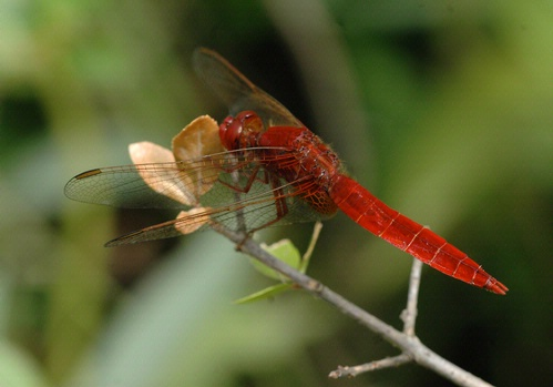 RED DRAGONFLY--UC Davis entomologist Michael Parrella submitted this photograph in the Insect Salon juried photography show at the Entomological Society of America's 56th annual  meeting, held last November in Reno. Photographers from around the world entered the competition. Parrella is an associate dean of agricultural sciences at the UC Davis College of Agricultural and Environmental Sciences, and professor of entomology and environmental horticulture at UC Davis. (Photo by Michael Parrella)