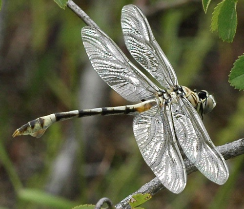 SILVER WINGS--UC Davis entomologist Michael Parrella submitted this striking photo of a silver-winged dragonfly in the Insect Salon juried photography show at the Entomological Society of America's 56th annual meeting, held last November in Reno. Parrella and UC Davis entomologist  Frank Zalom were named ESA Fellows at the meeting. (Photo by Michael Parrella)