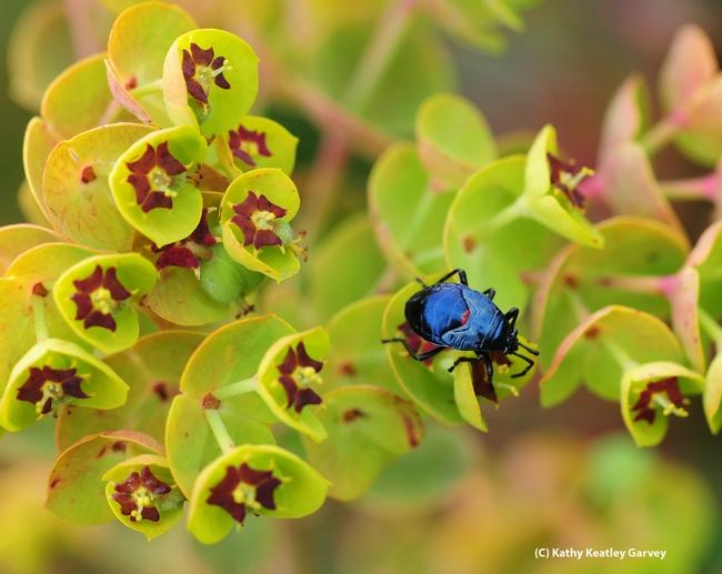 Bordered plant bug, family Largidae, crawling on a Euphorbia. (Photo by Kathy Keatley Garvey)