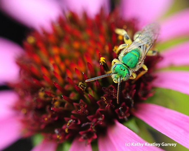 Note the metallic green head and thorax of a male sweat bee,  Agapostemon texanus. (Photo by Kathy Keatley Garvey)