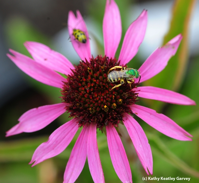 Spotted cucumber beetle (a pest) and male sweat bee,  Agapostemon texanus, sharing a purple coneflower. (Photo by Kathy Keatley Garvey)