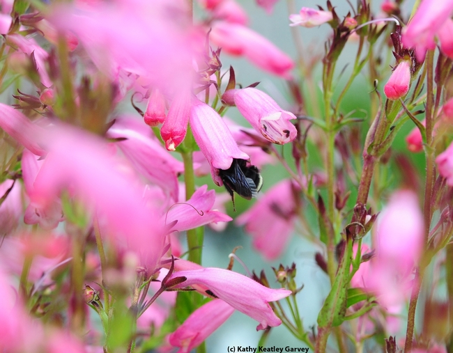 Yellow-faced bumble bee (Bombus vosnesenskii) crawls inside a  penstemon,