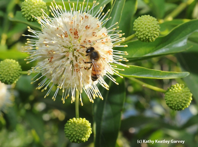 Honey bee foraging on a button willow, also known as a button bush (Cephalanthus occidentalis). (Photo by Kathy Keatley Garvey)
