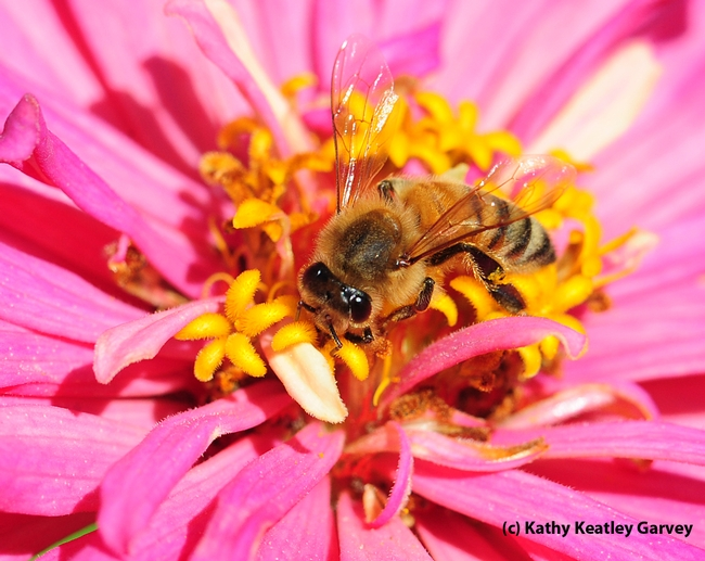 Honey bee nectaring  in the Haagen-Dazs Honey Bee Haven at UC Davis. (Photo by Kathy Keatley Garvey)