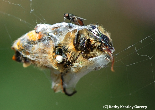 Freeloader fly perched on top of a spider's prey. (Photo by Kathy Keatley Garvey)