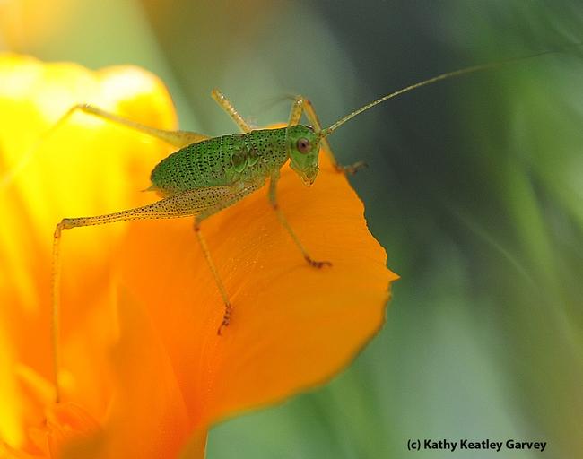 Nymph katydid on California golden poppy. (Photo by Kathy Keatley Garvey)