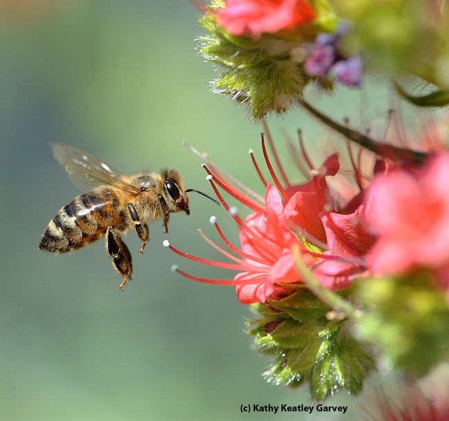 Honey bee heading toward tower of jewels (Echium wildpretii). (Photo by Kathy Keatley Garvey)
