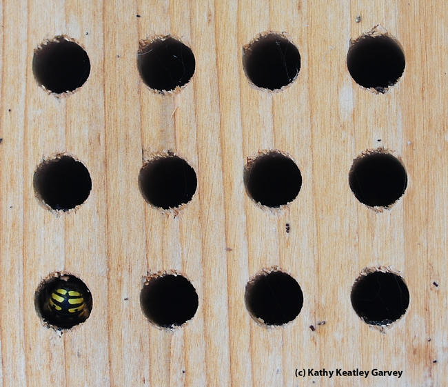 This bee condo, meant for blue orchard bees, is attracting a European wool carder bee,  Anthidium manicatum. (Photo by Kathy Keatley Garvey)