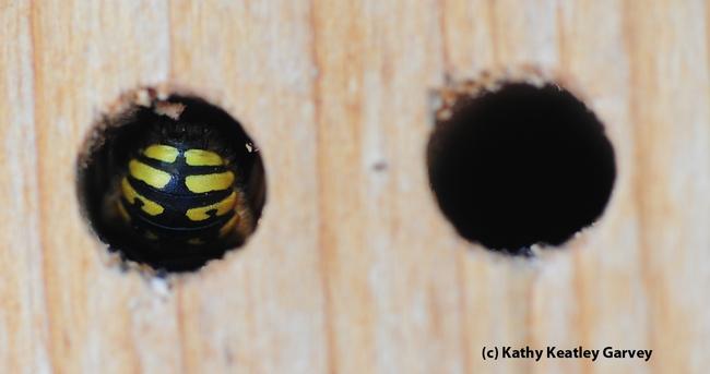 Close-up of a sleeping European wool carder bee, Anthidium manicatum. (Photo by Kathy Keatley Garvey)