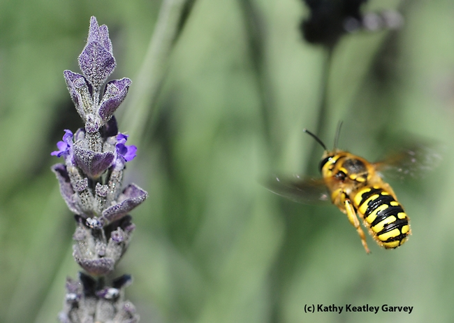 European wool carder bee,  Anthidium manicatum, in flight, heading for lavender. (Photo by Kathy Keatley Garvey)