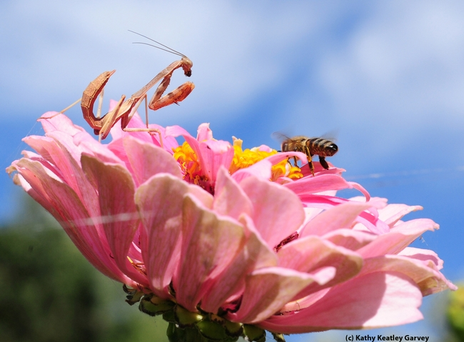 Unsuspecting honey bee lands on a zinnia occupied by a praying mantis lying in wait. (Photo by Kathy Keatley Garvey)