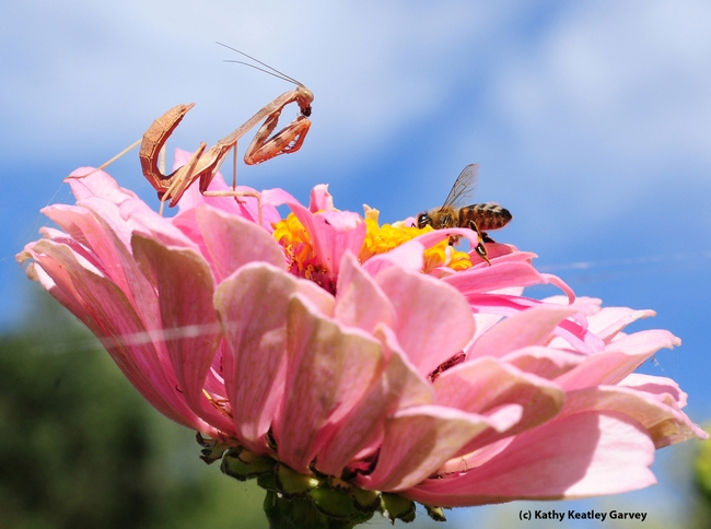 Honey bee crawls toward the center of the zinnia, unaware of the predator. (Photo by Kathy Keatley Garvey)