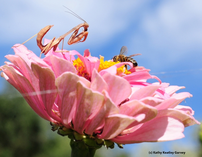 The honey bee sinks down into the zinnia and is about to forage, as the mantid lies perfectly still. (Photo by Kathy Keatley Garvey)