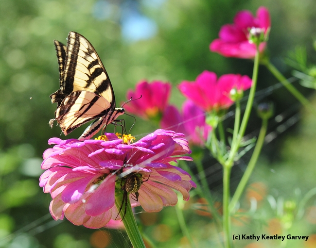 Western tiger swallowtail, Papilio rutulus, nectars on a zinnia, unaware of the danger lurking below. (Photo by Kathy Keatley Garvey)