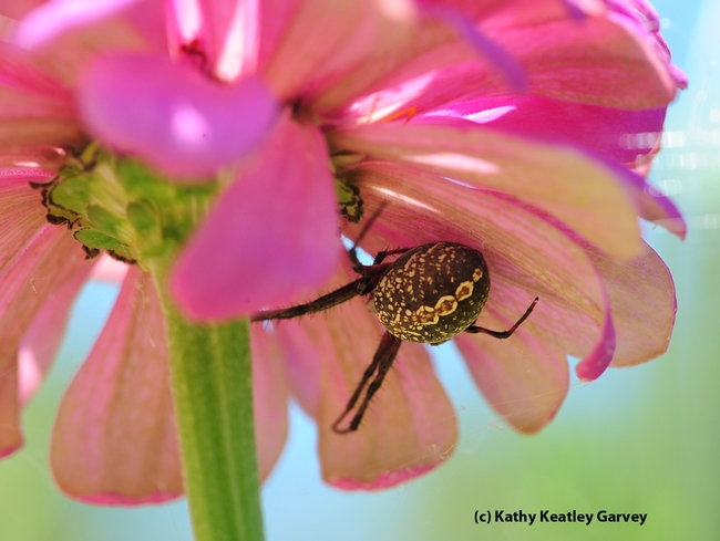Close-up of garden spider tucked beneath the petals. (Photo by Kathy Keatley Garvey)