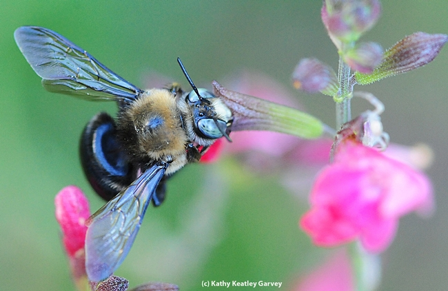 Male mountain or foothill carpenter bee, Xylocopa tabaniformis orpifex, on salvia.  (Photo by Kathy Keatley Garvey)